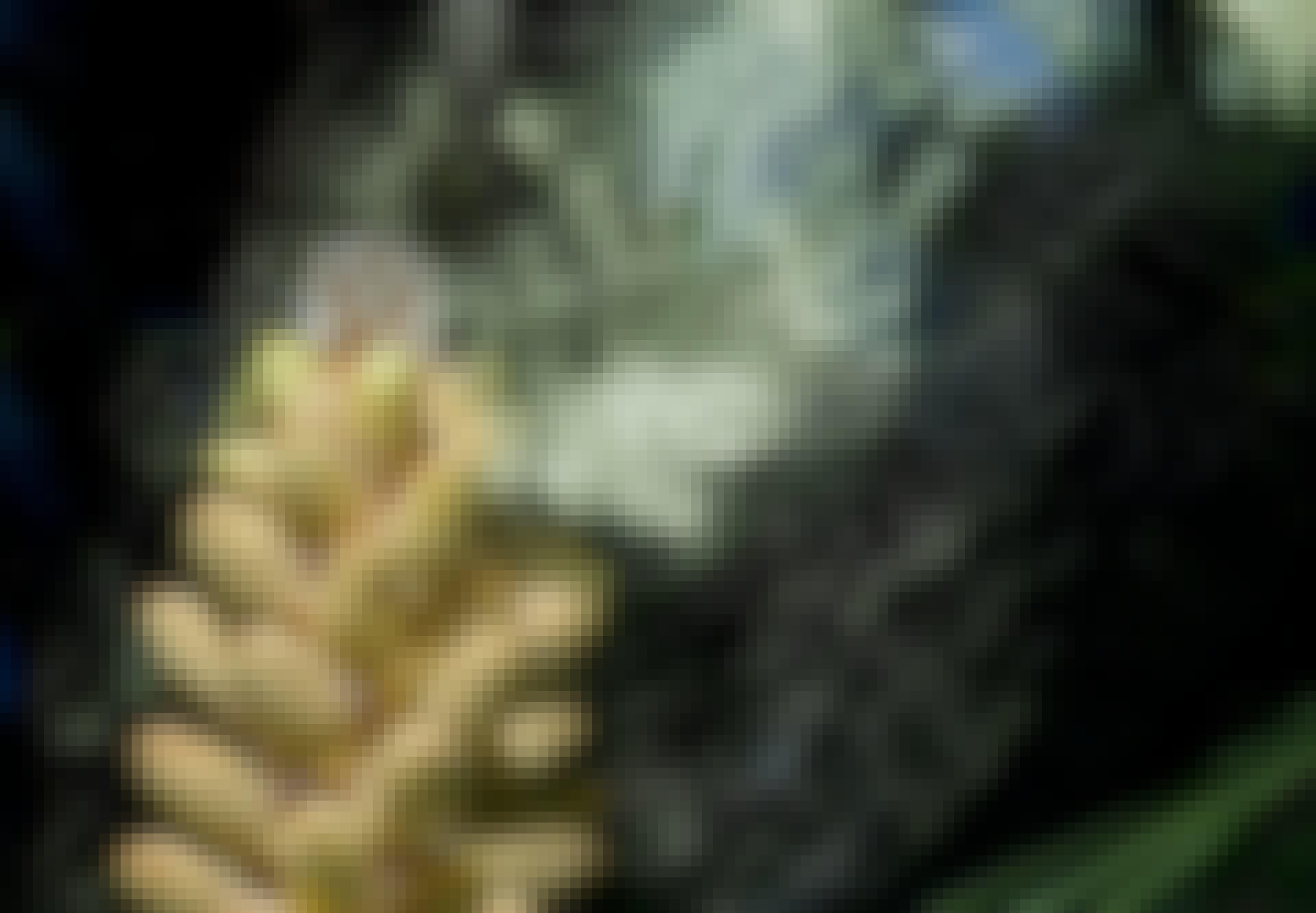 Pollen fra kongle