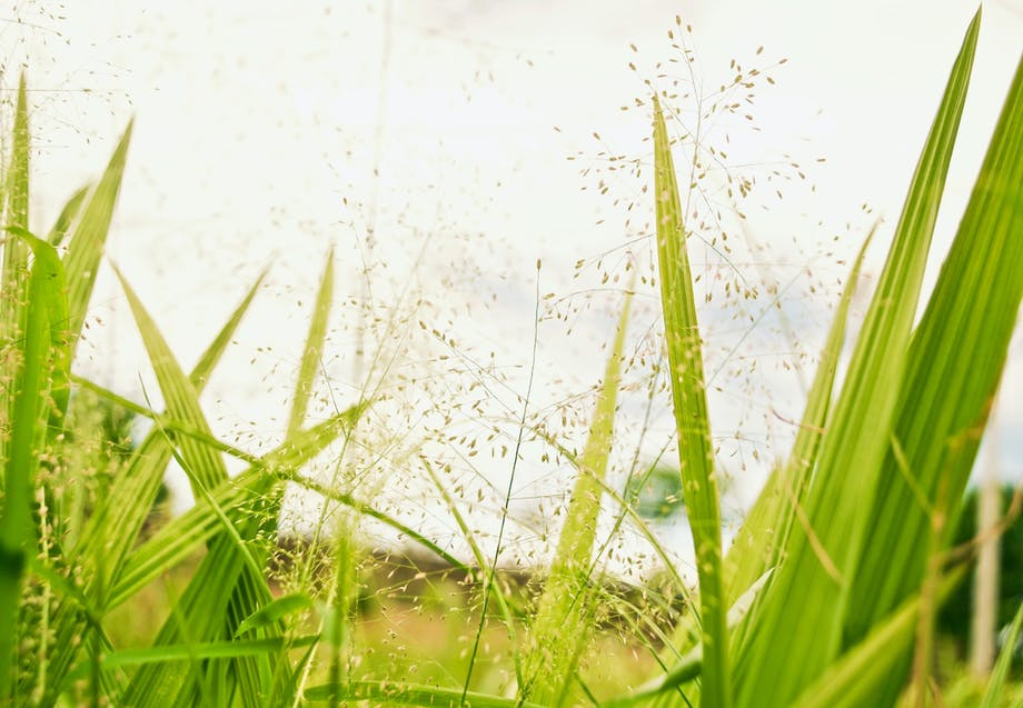 Heinän siitepölyä