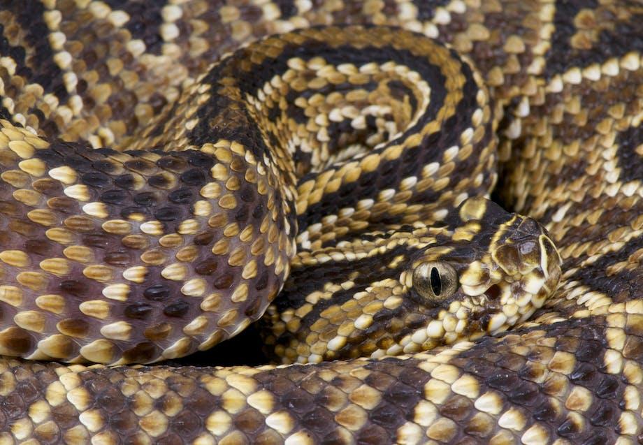 Giftig slange taipan