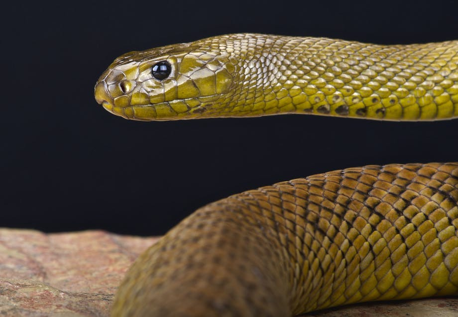 Myrkyllinen käärme taipaani