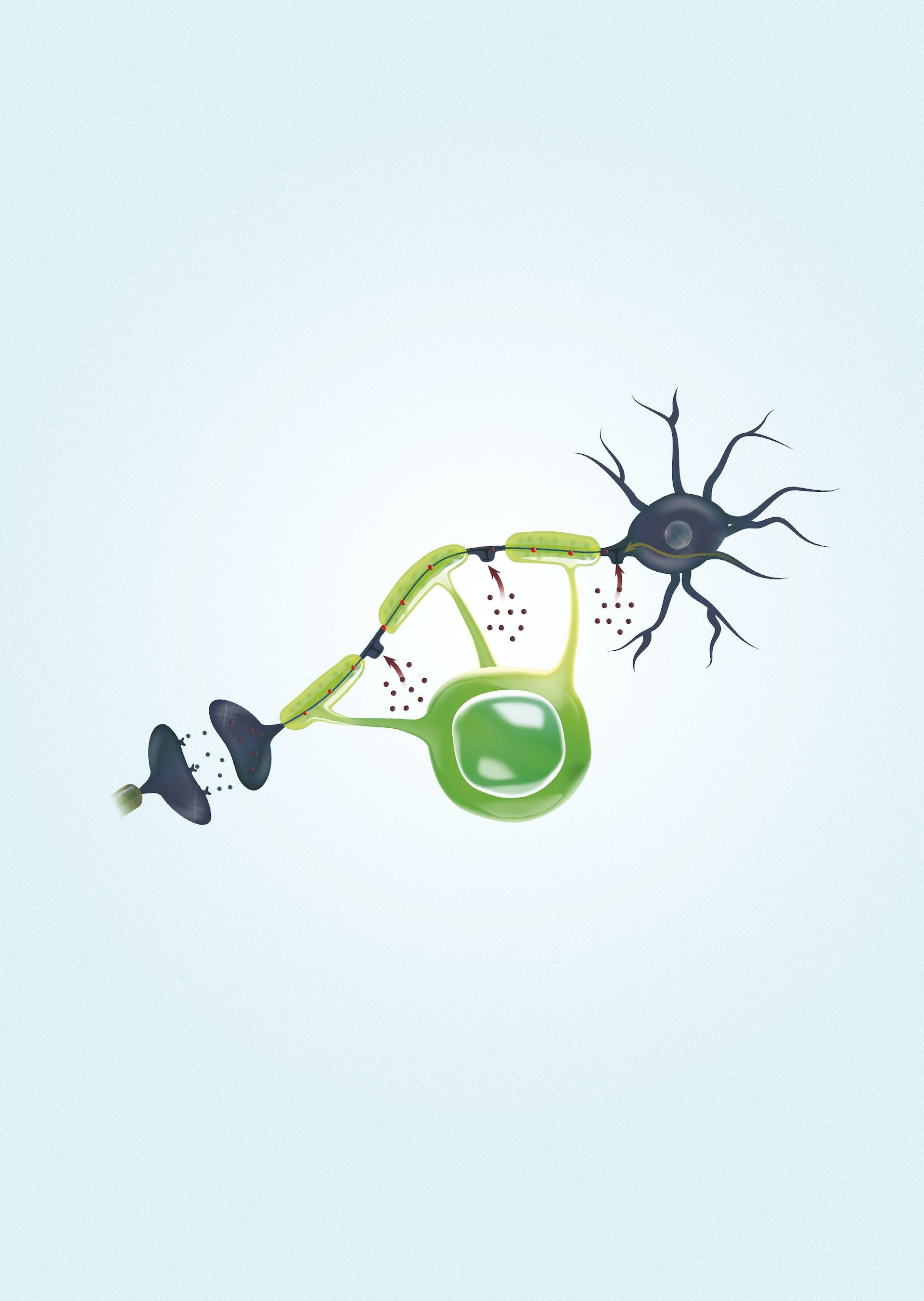 Stamceller redder hjernen fra sklerose | illvit no