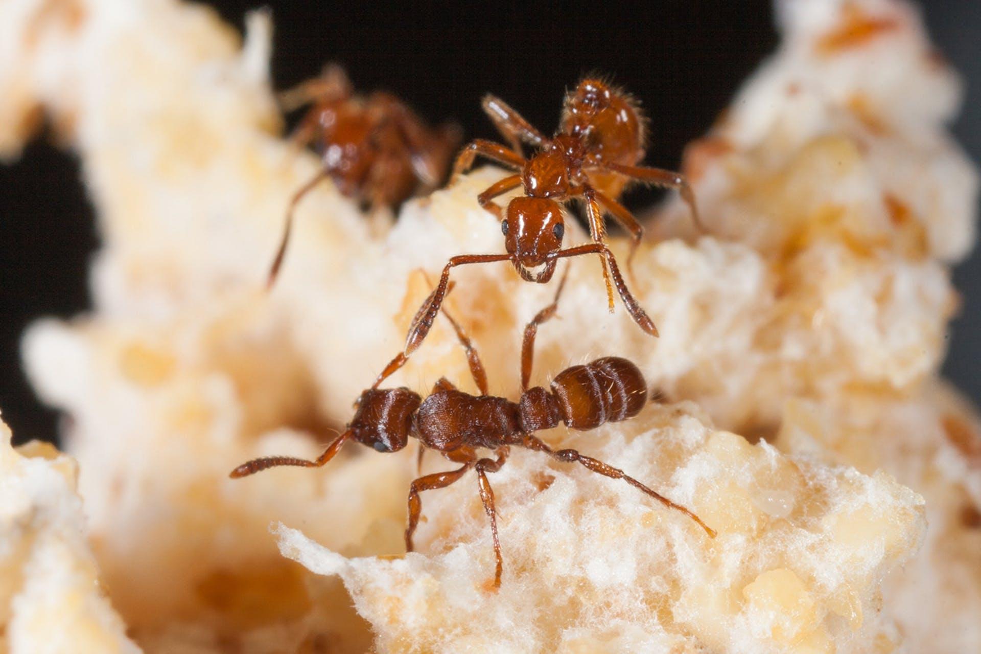 Myren Megalomyrmex hjælper med at beskytte mod aggressive myrer