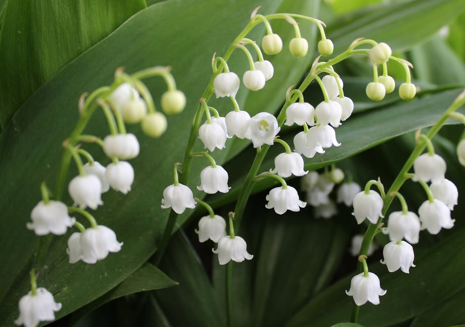 Liljekonvallen indeholder giftige glykosider