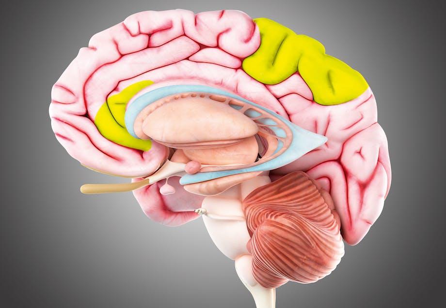 Den fri vilje sidder i hjernens anterior cingulate cortex og precuneus cortex.