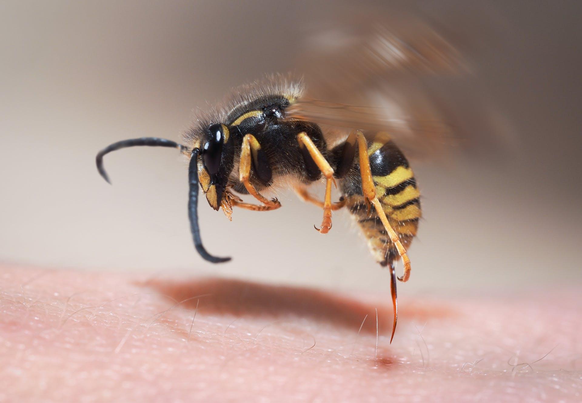 Et stik fra en hveps kan være livsfarligt