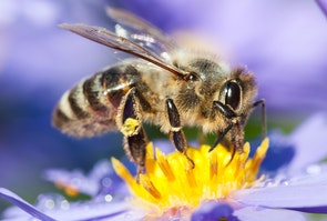 Honningbi-suger-nektar-af-blomst