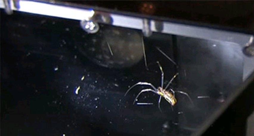 Kan edderkoppen overleve at du støvsuger den? Her er svaret
