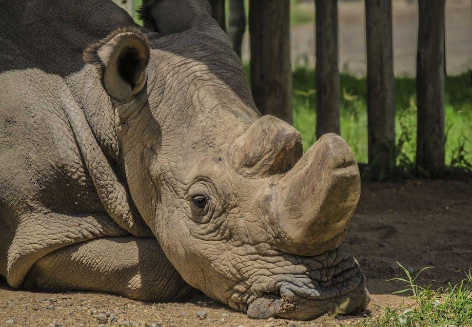 Sudan var den sidste han af arten nordligt hvidt næsehorn