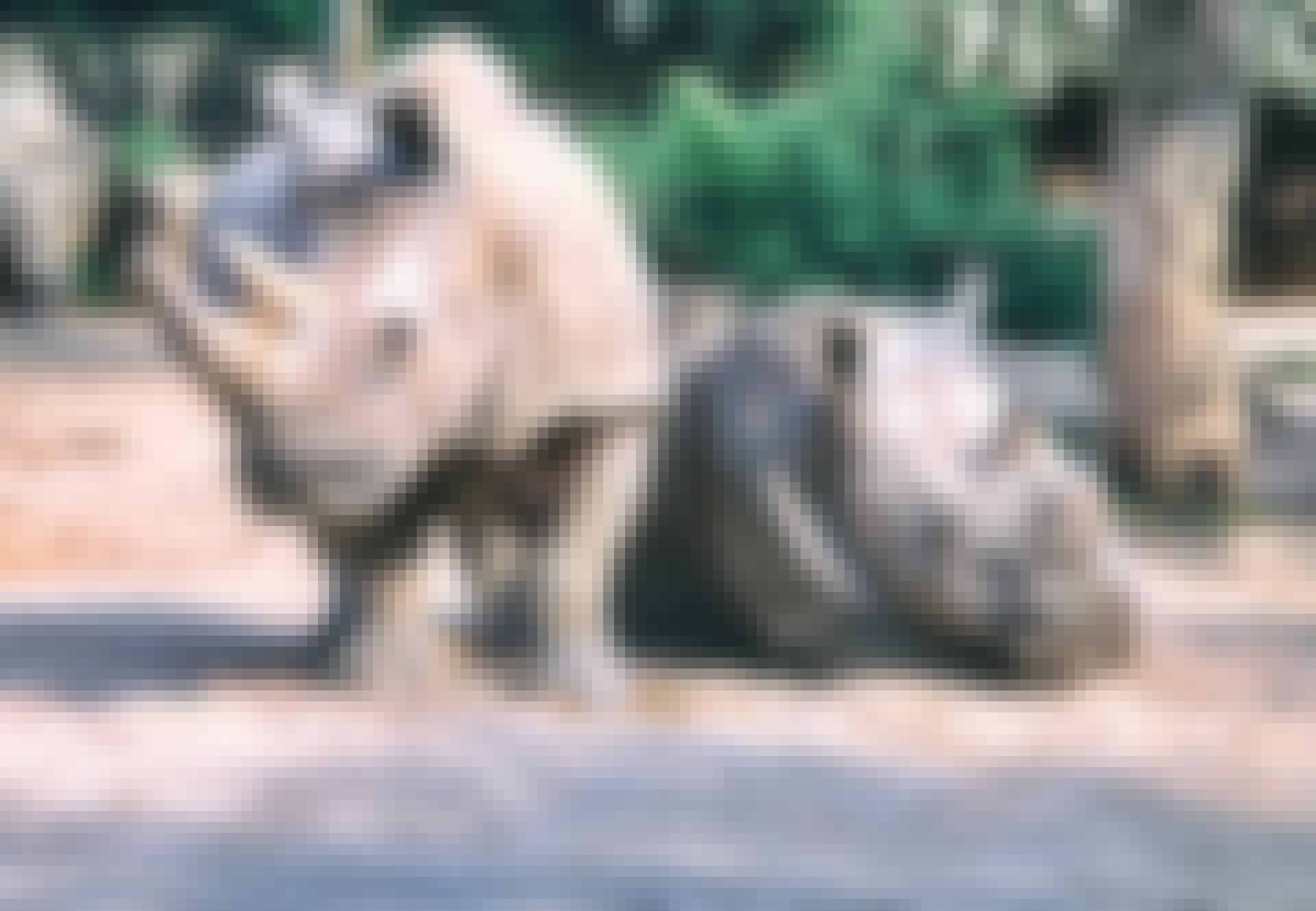 Tatu og Najin er de sidste to nordlige hvide næsehorn på Jorden.