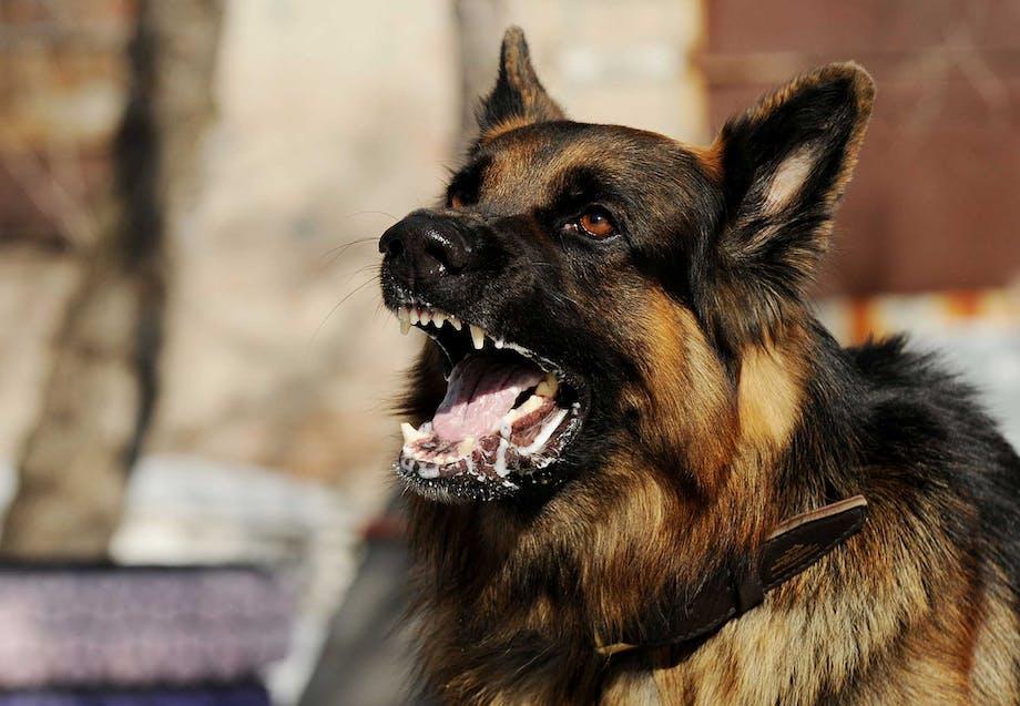 Aggressiv hund gør og viser tænder