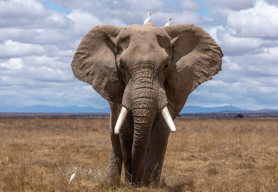 Enlig elefant går på den åbne savanne