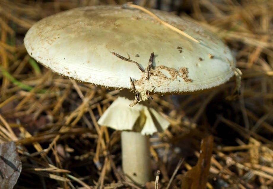 Giftig svamp - grøn fluesvamp