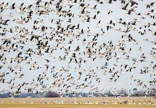 Muuttolinnut lentävät talveksi etelään