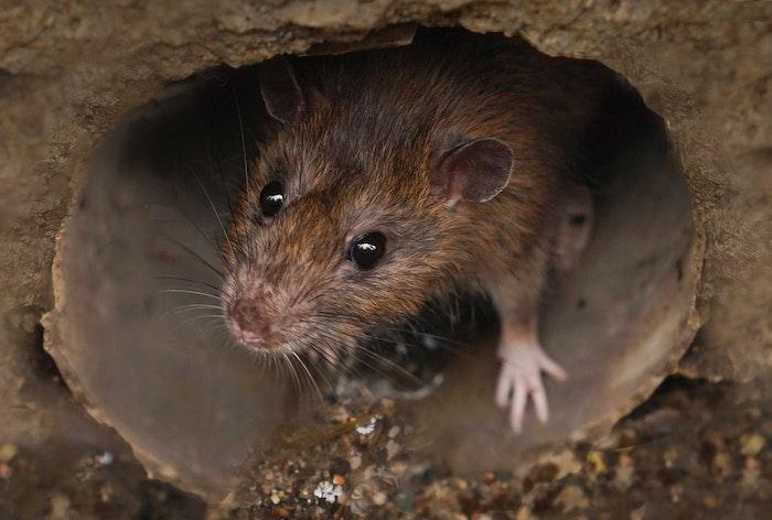 Rat in rioolbuis
