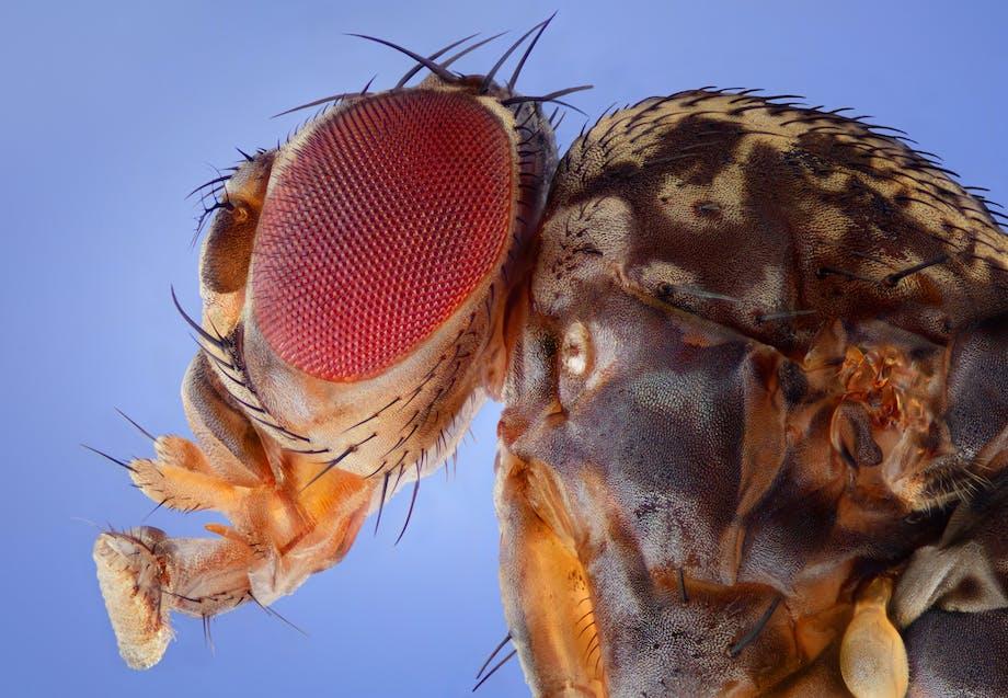 Fruitvliegjes leven korter als ze worden blootgesteld aan blauw licht van telefoons en tablets