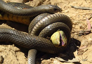 Brung slange spiser bytte