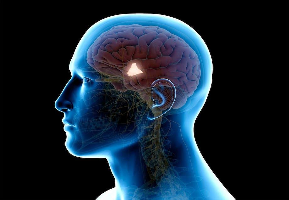 hypothalamus temperaturregulering