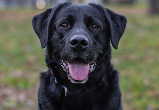 Närbild av svart labrador