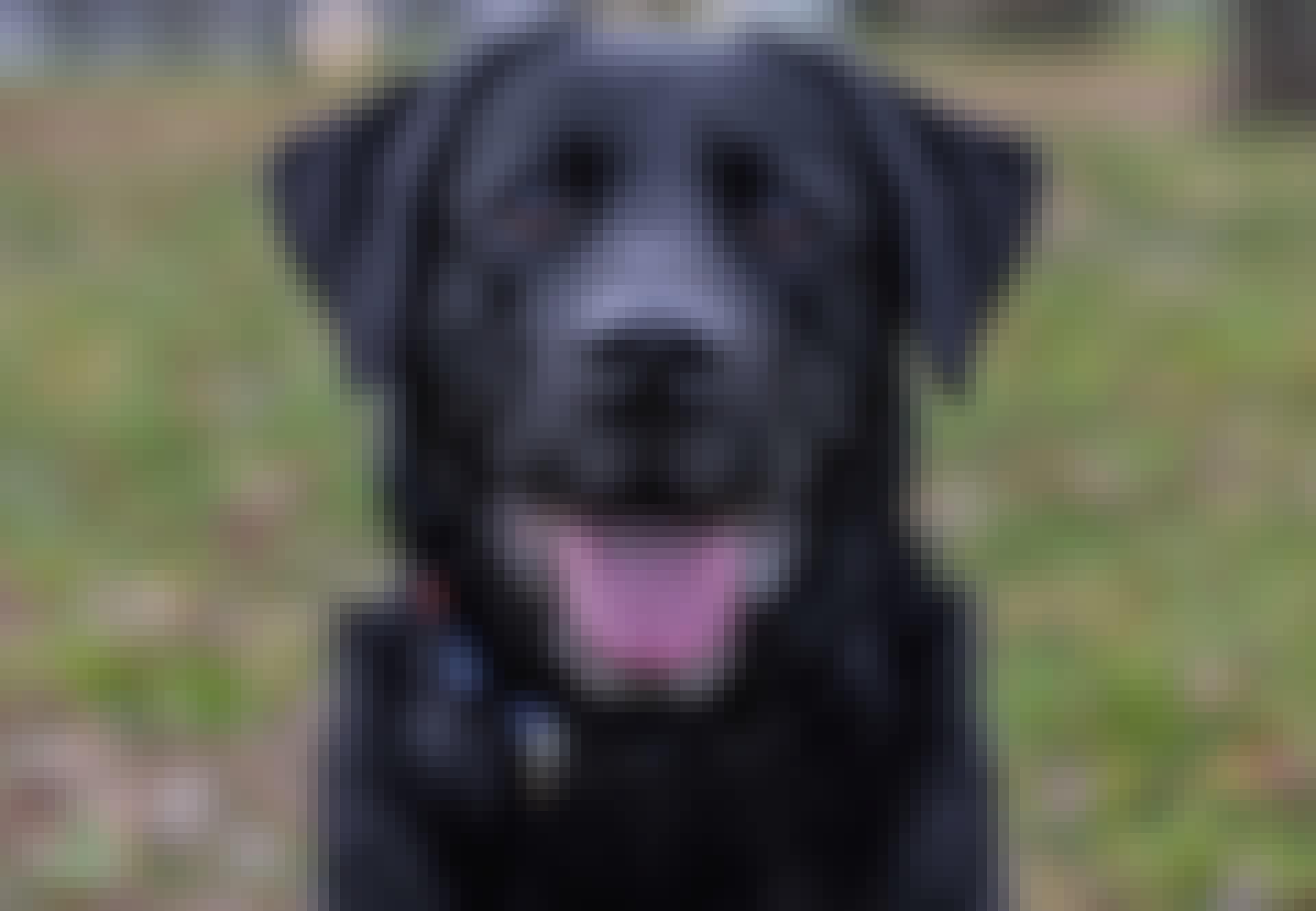 Lähikuva musta labradorinnoutaja