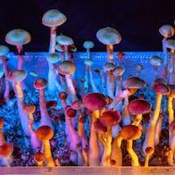 psykedeliska svampar