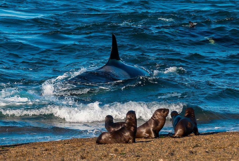 Späckhuggare jagar sjölejon.
