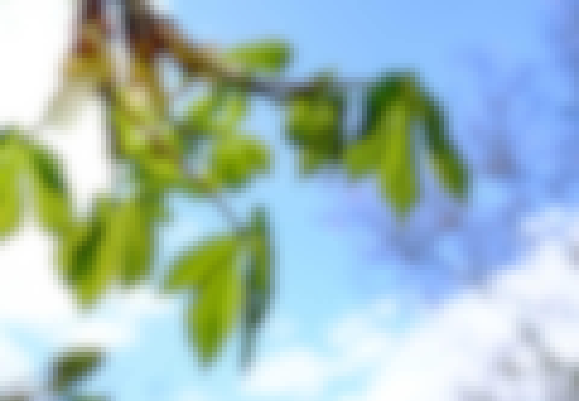 Forårsjævndøgn - blade springer ud
