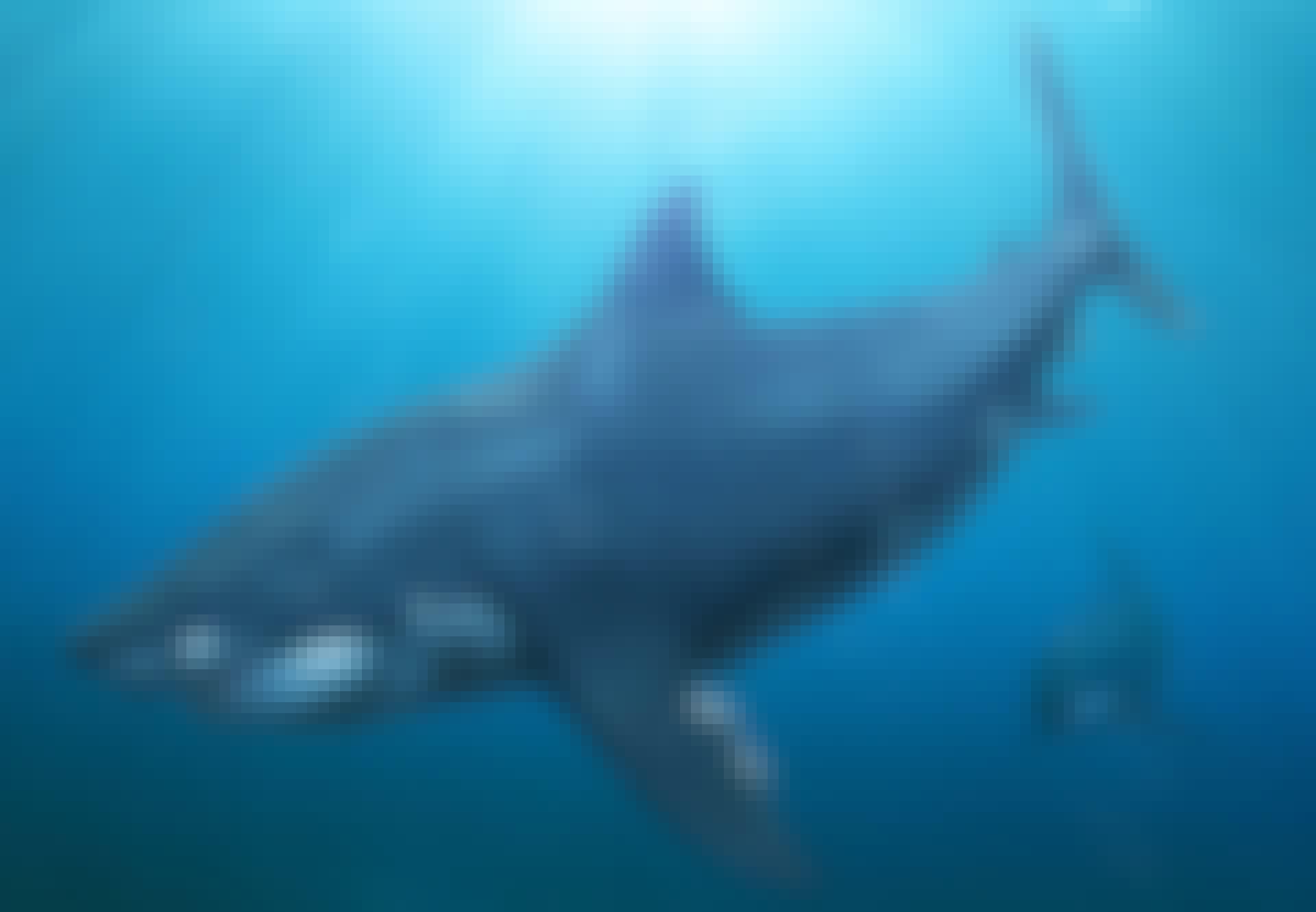 Megalodon - verdens største haj