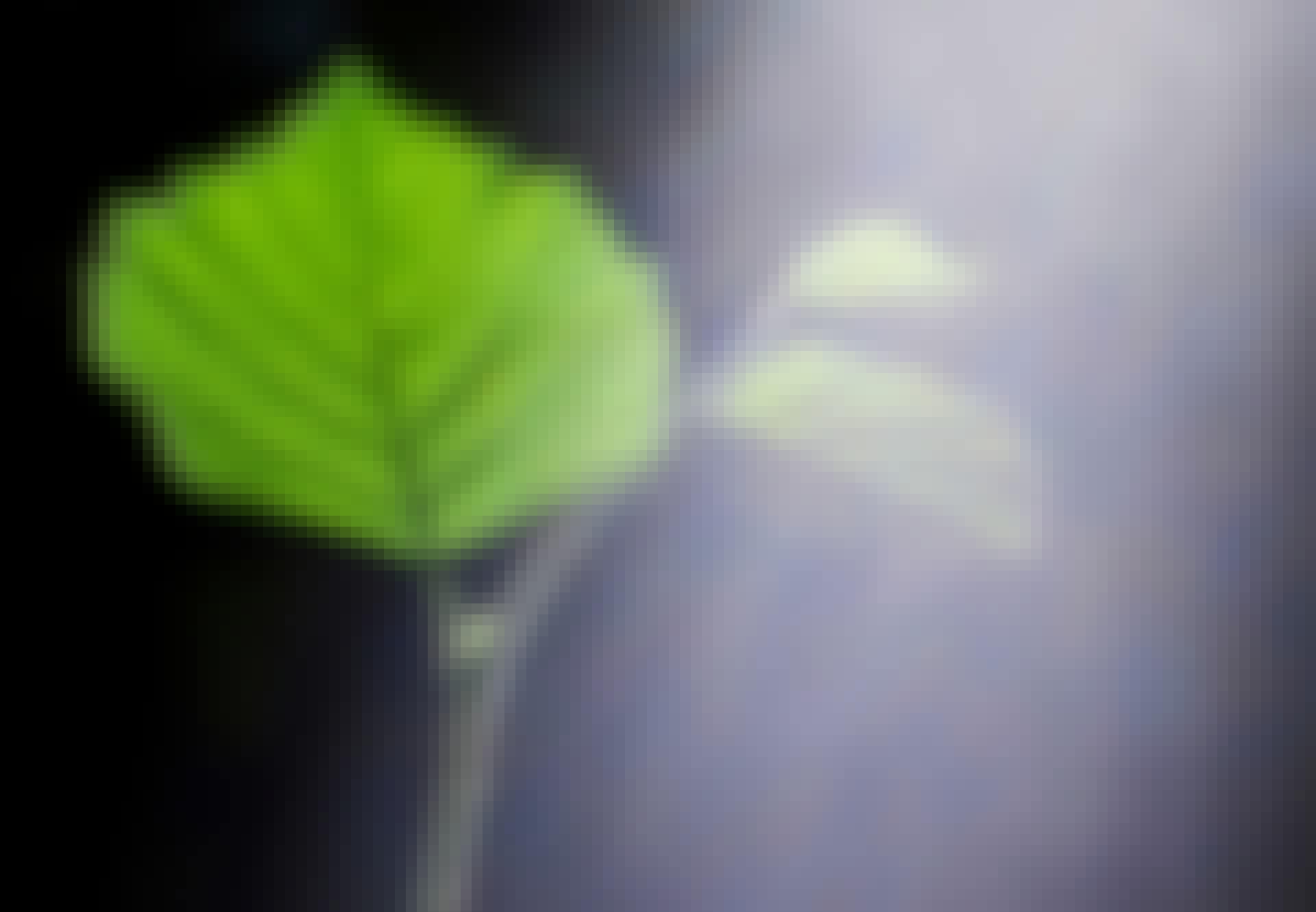Sollys på et blad - fotosyntese