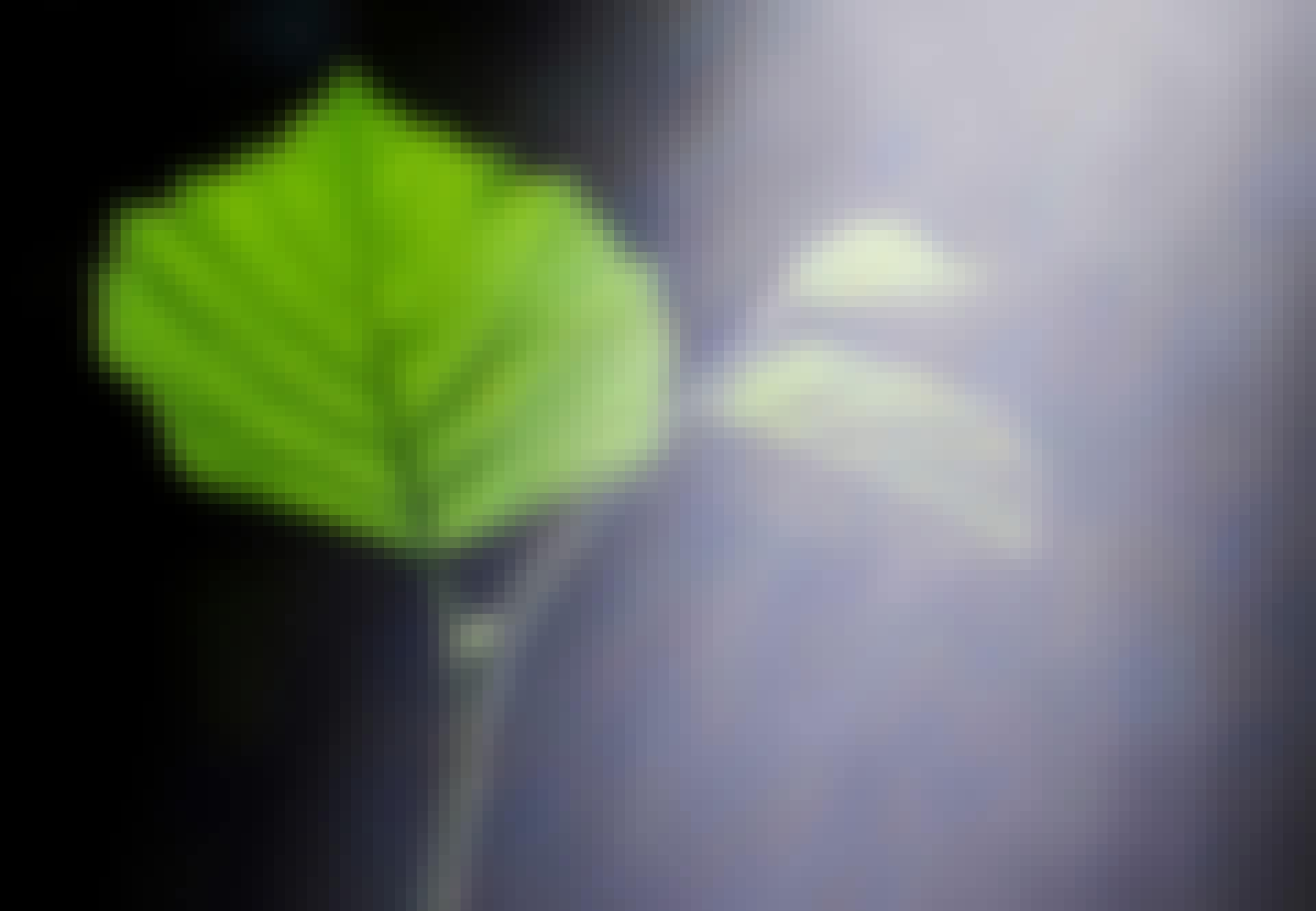 Zonlicht op een blad - fotosynthese