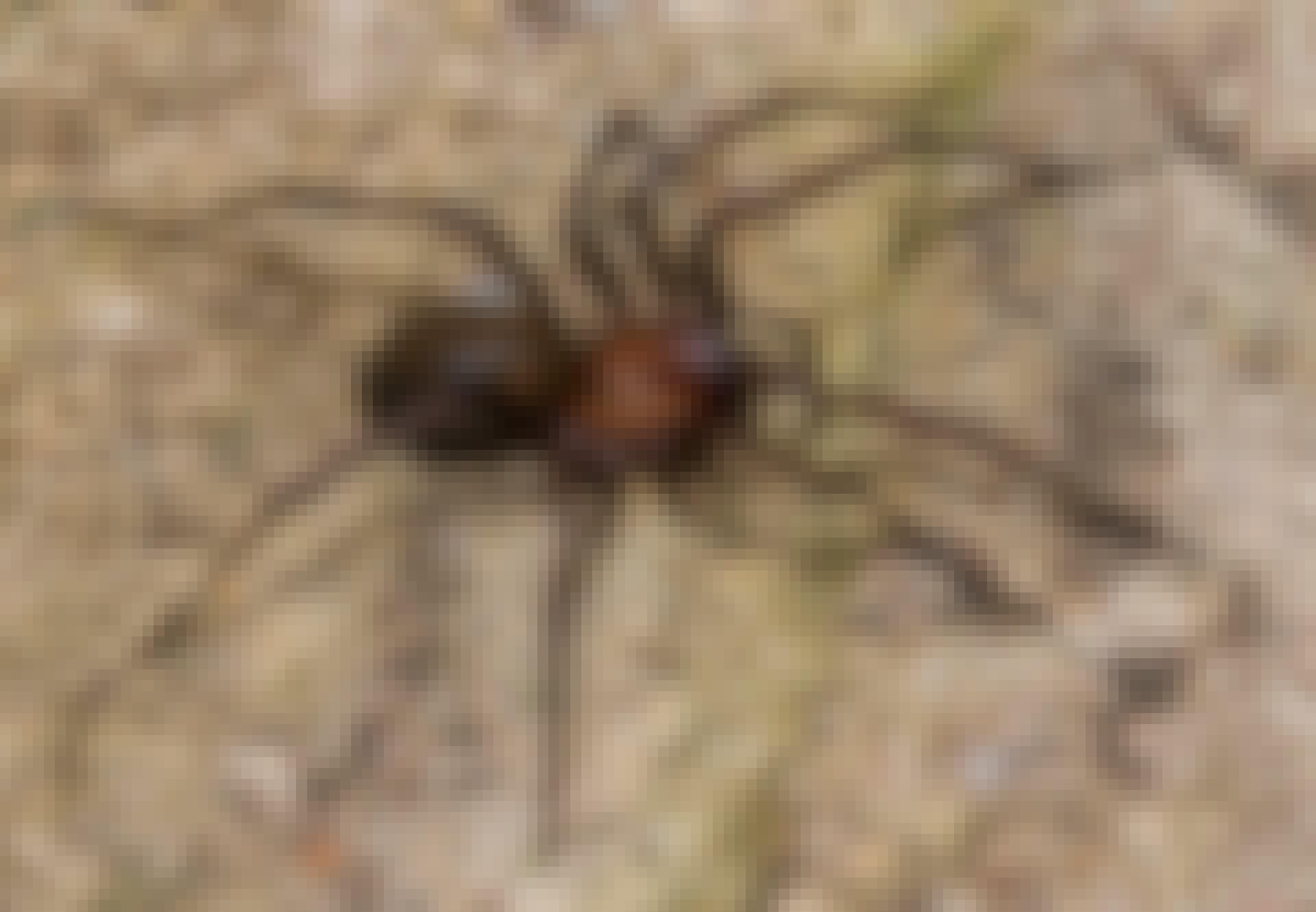 Spinnen in Nederland – Gewone huisspin