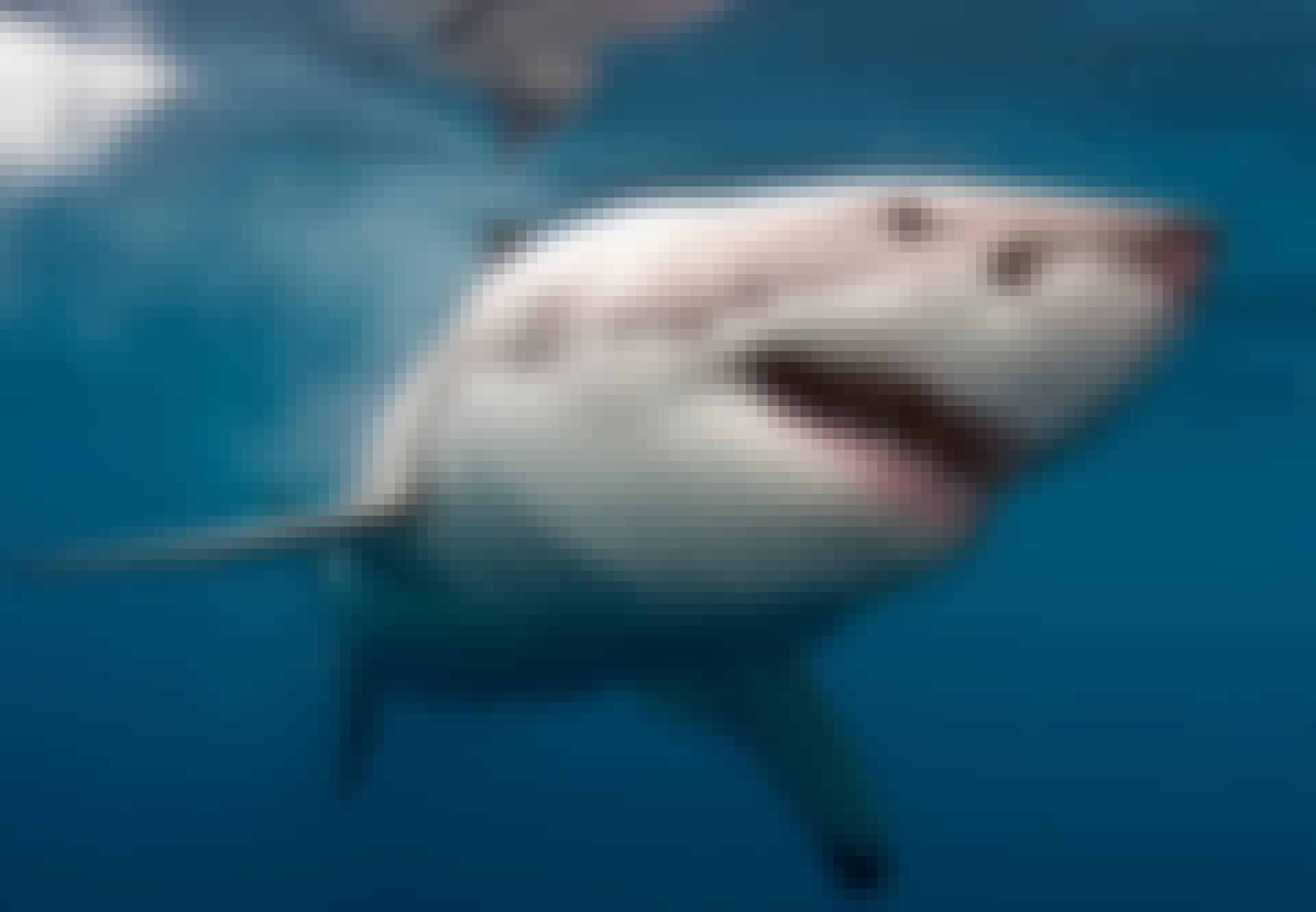 Valkoinen hai meressä
