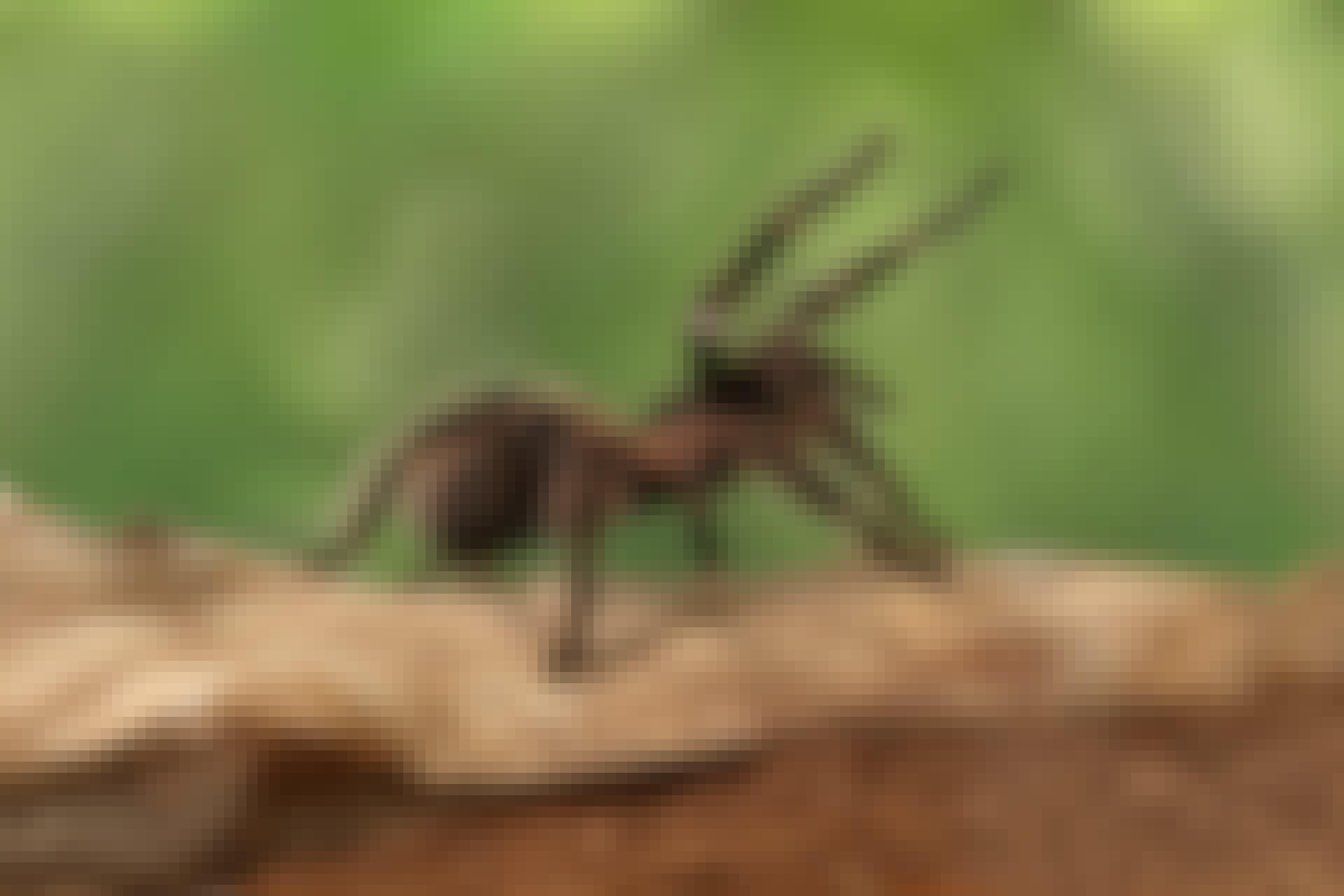 tarantel, lasiodora, Parahybana, fågelspindel, hona