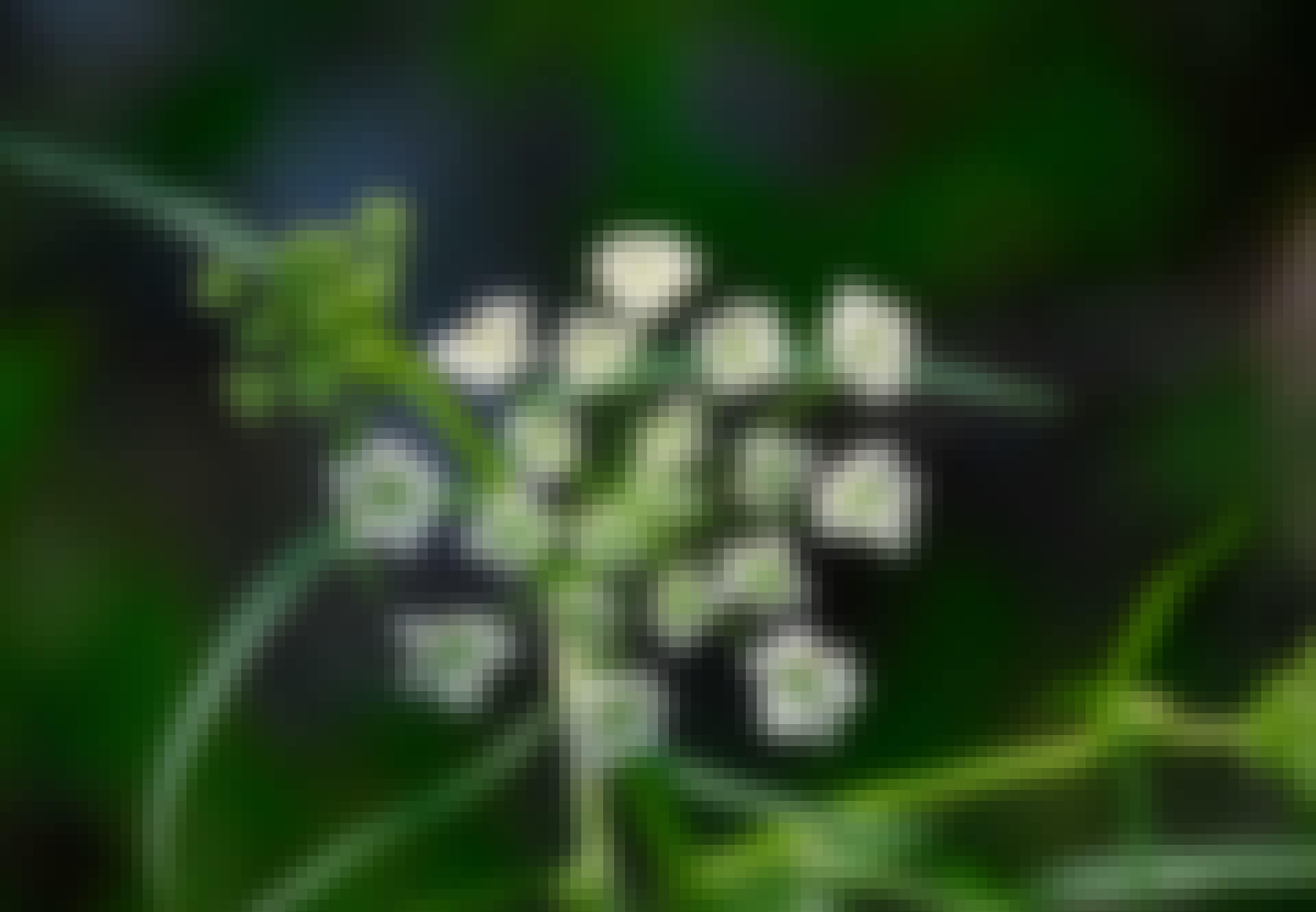Myrkyllinen kasvi