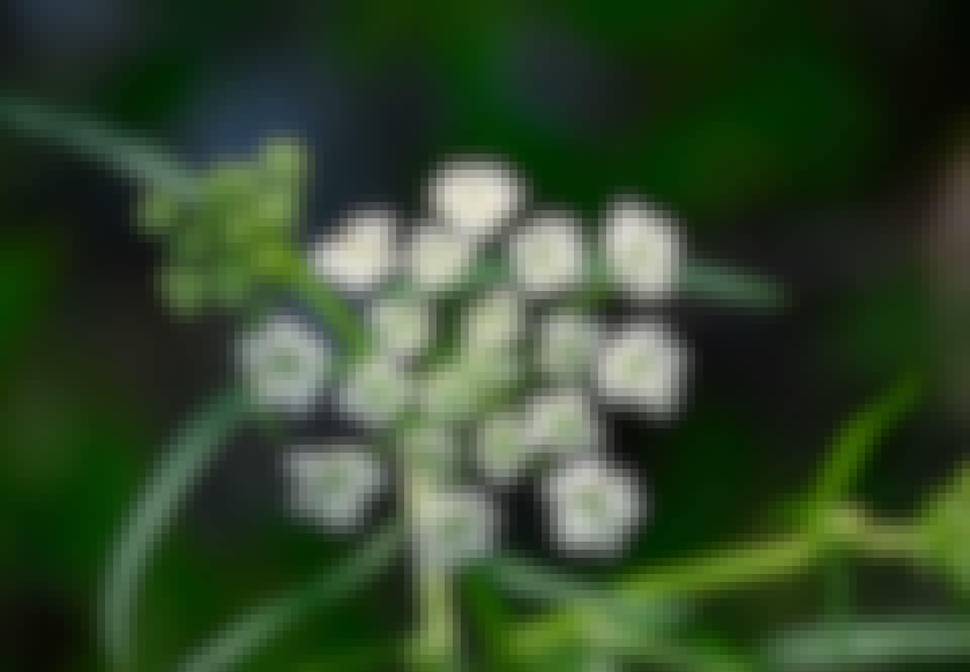 Giftige plant