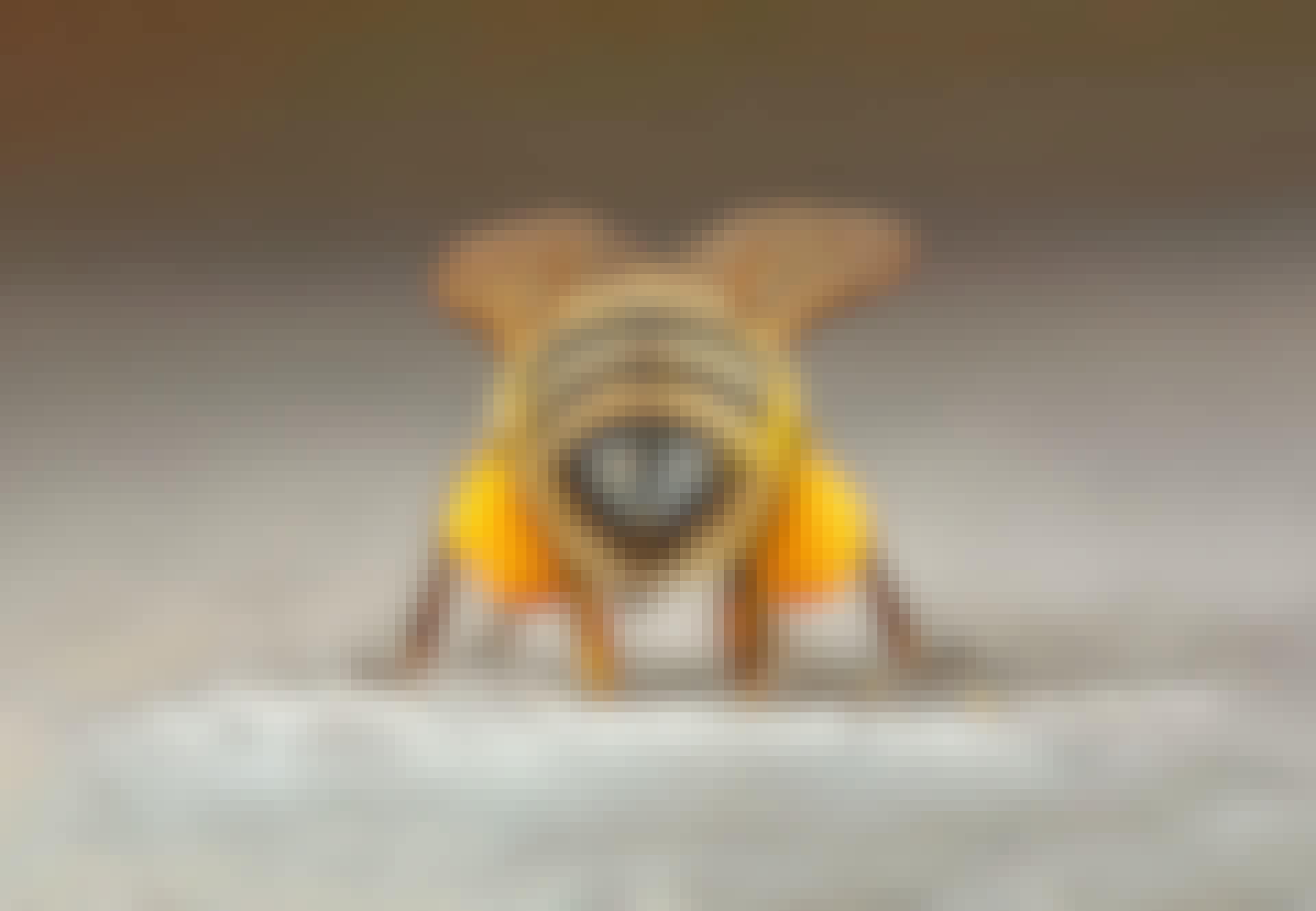 Mehiläisen takaruumis ja siitepölyä