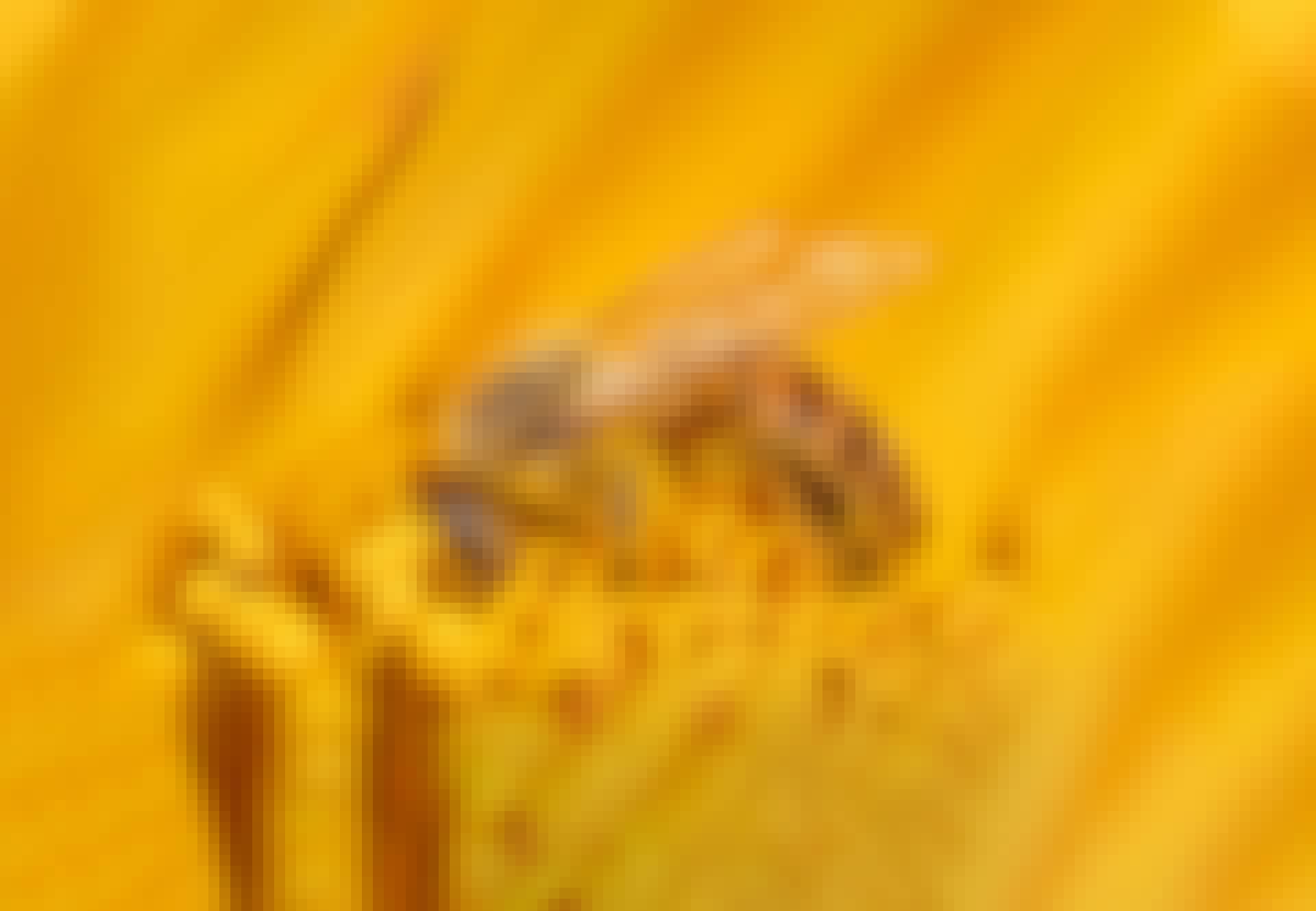 Mehiläinen mässäilee siitepölyllä