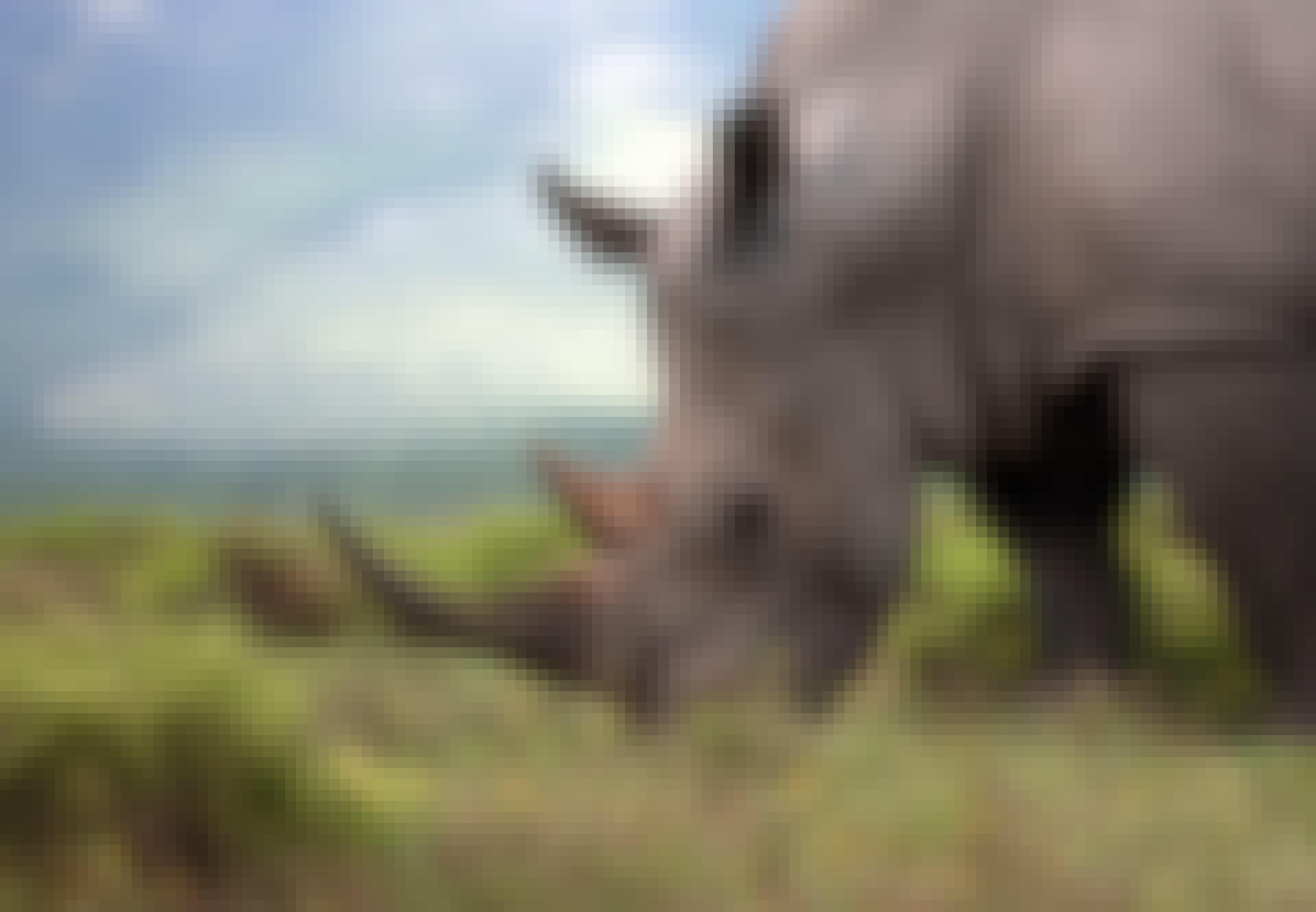 Närbild av betande noshörningar