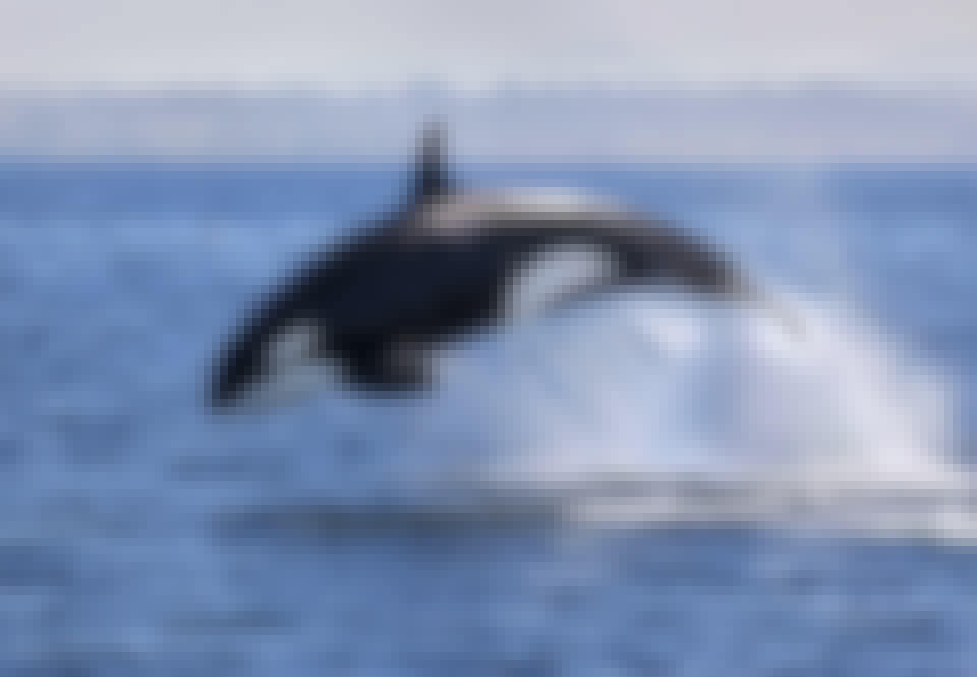 Miekkavalas hyppää merestä.