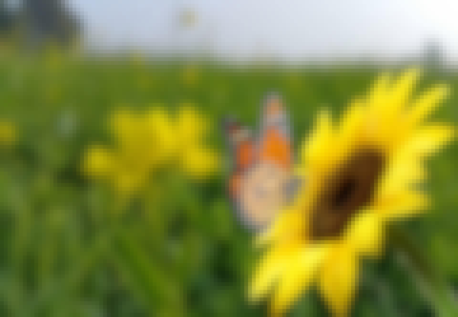 Fjäril som sitter på en solros mitt på ett fält