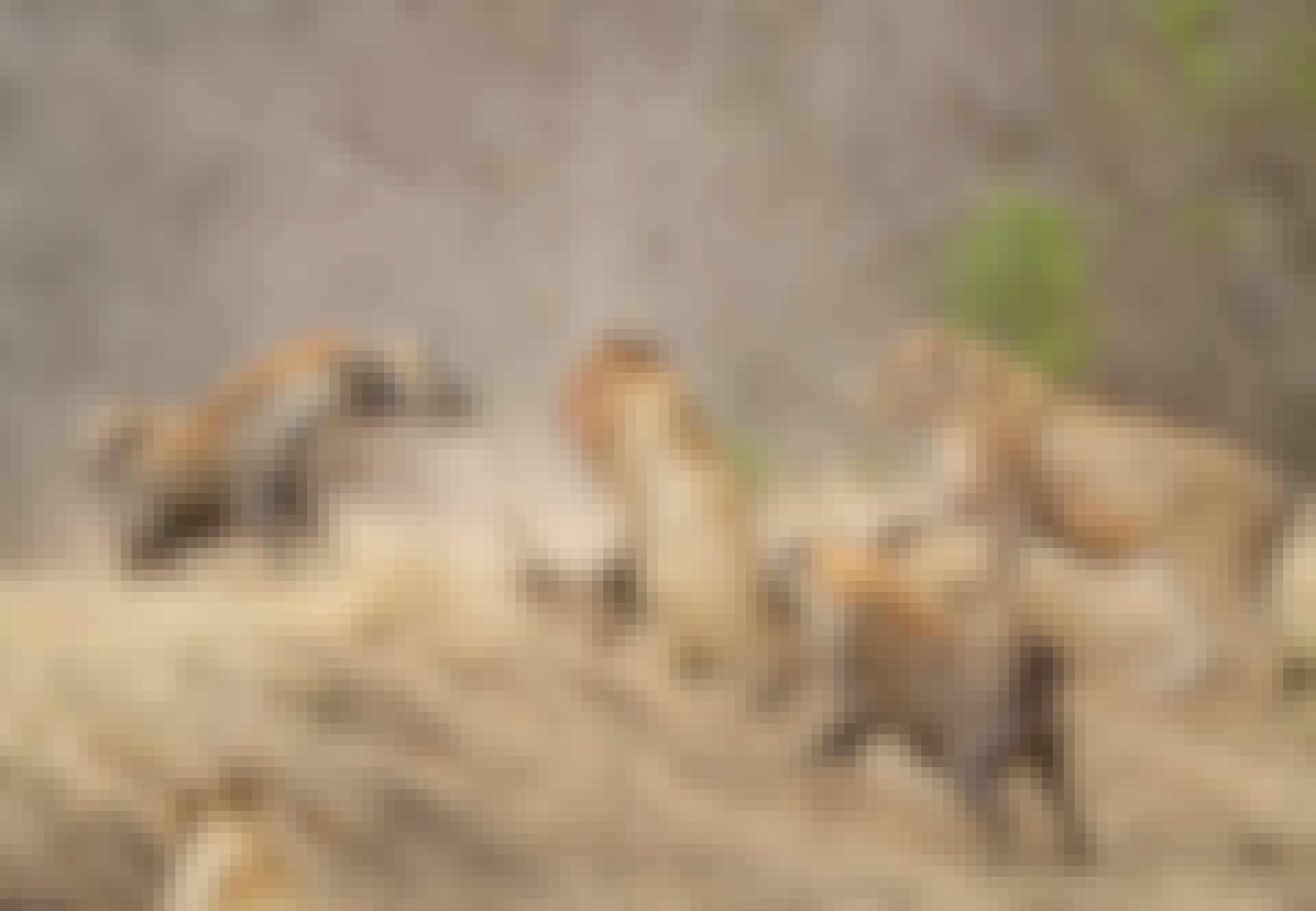 Hyena flock i konfrontation med ett lejon
