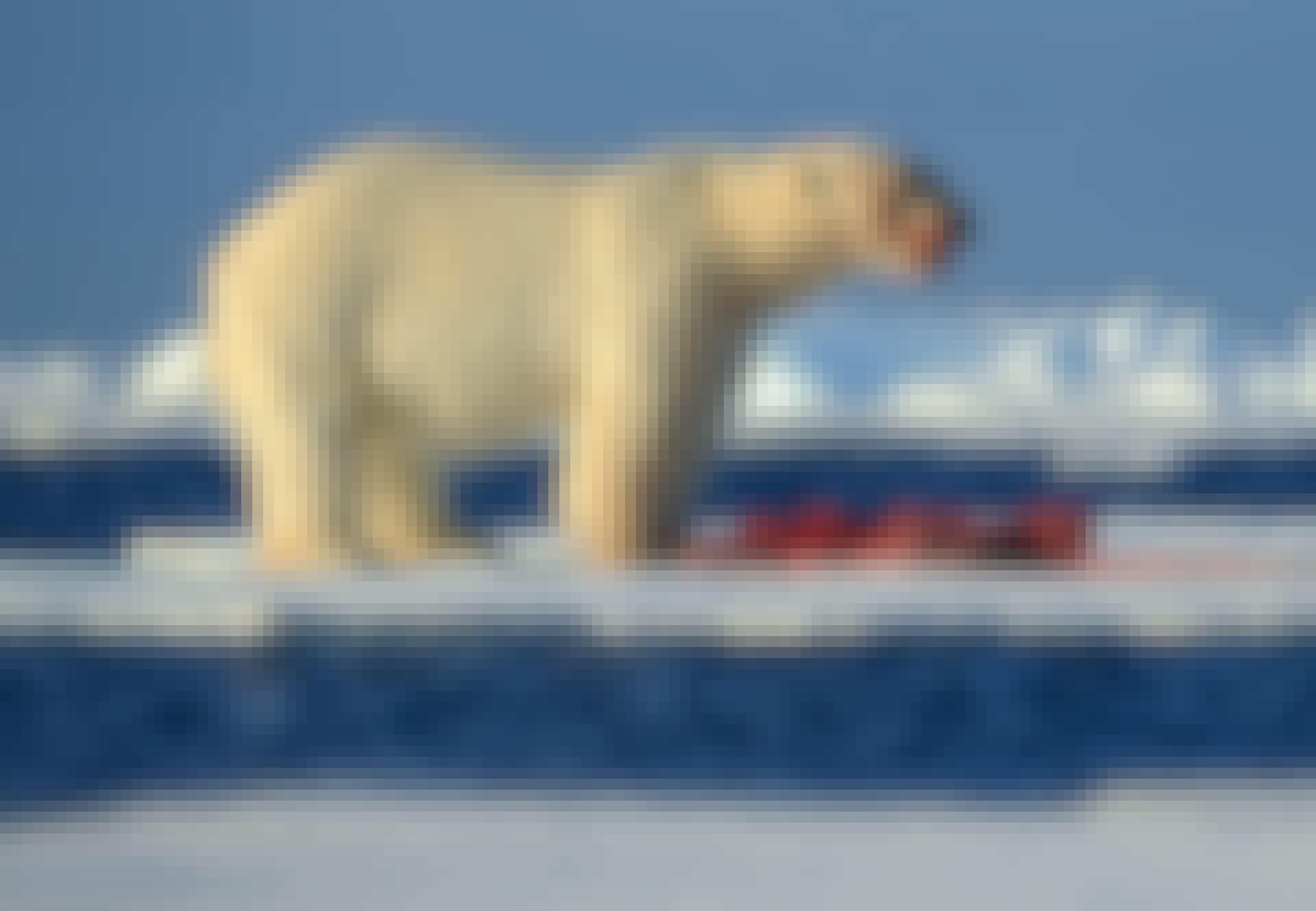 Isbjörn, isflak, föda